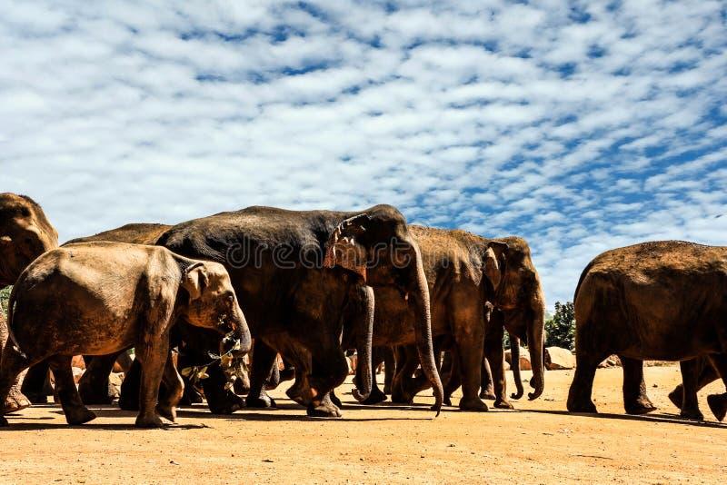 斯里兰卡Pinnawela大象孤儿院 库存照片