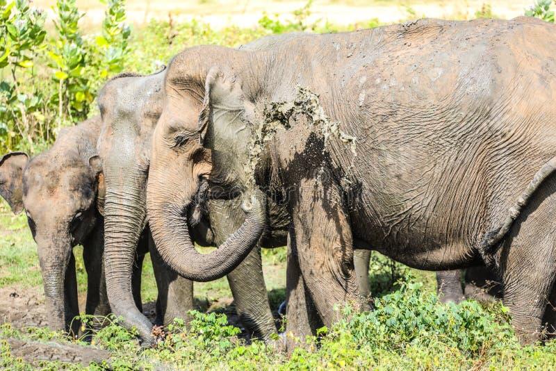 斯里兰卡Udawalawe国家公园大象阵雨 图库摄影