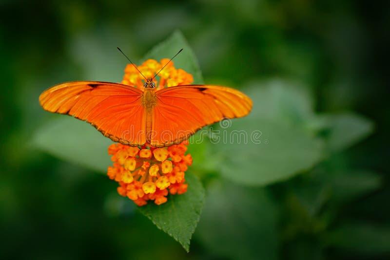 新仙女木iulia,被拼写的茱莉亚heliconian,在自然栖所 从哥斯达黎加的好的昆虫绿色森林橙色蝴蝶sittin的 库存图片