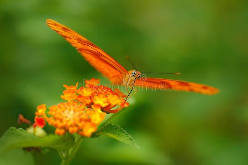 新仙女木iulia,被拼写的茱莉亚heliconian,在自然栖所 从哥斯达黎加的好的昆虫绿色森林橙色蝴蝶sittin的 免版税库存照片