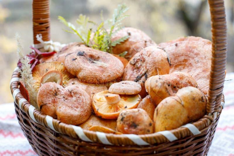 新伐红色食家蘑菇乳菇属可口与草叶从森林 库存图片