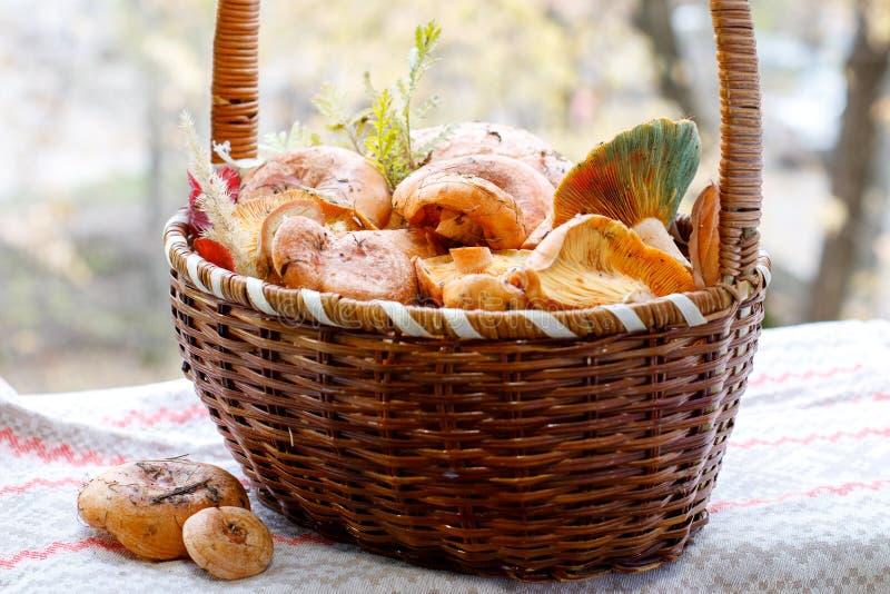 新伐红色食家蘑菇乳菇属可口与草叶从森林 免版税图库摄影
