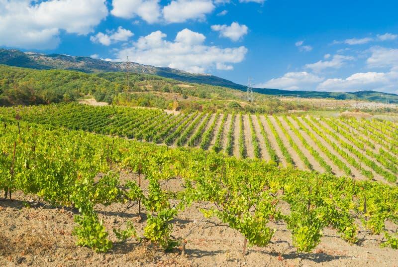 新克里米亚半岛山行的葡萄园 库存照片