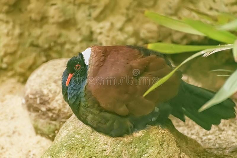 新几内亚和附近的海岛主要雨林的白的naped野鸡鸽子当地人  异乎寻常的热带鸟 免版税库存照片