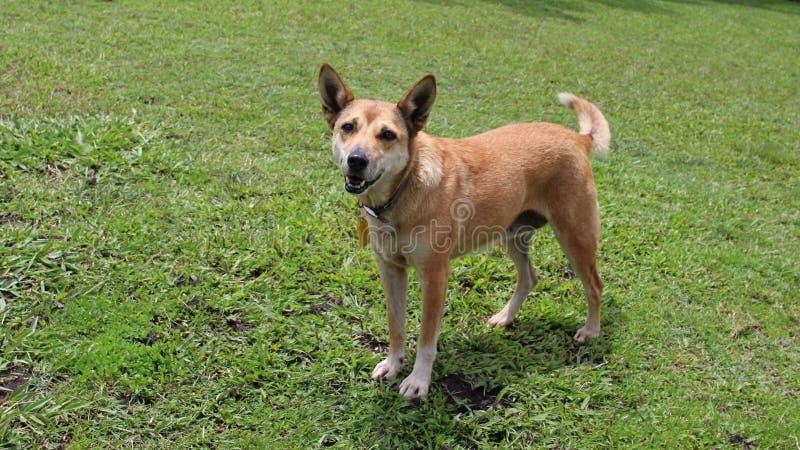 新几内亚唱歌狗混合 免版税库存图片