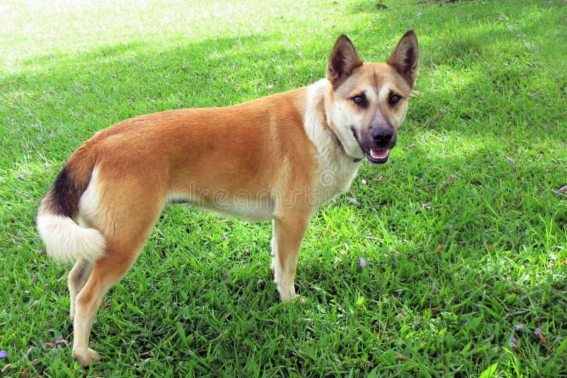 新几内亚狗 免版税库存图片