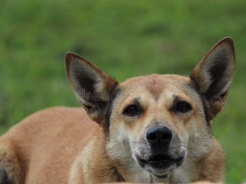 新几内亚狗 免版税库存照片