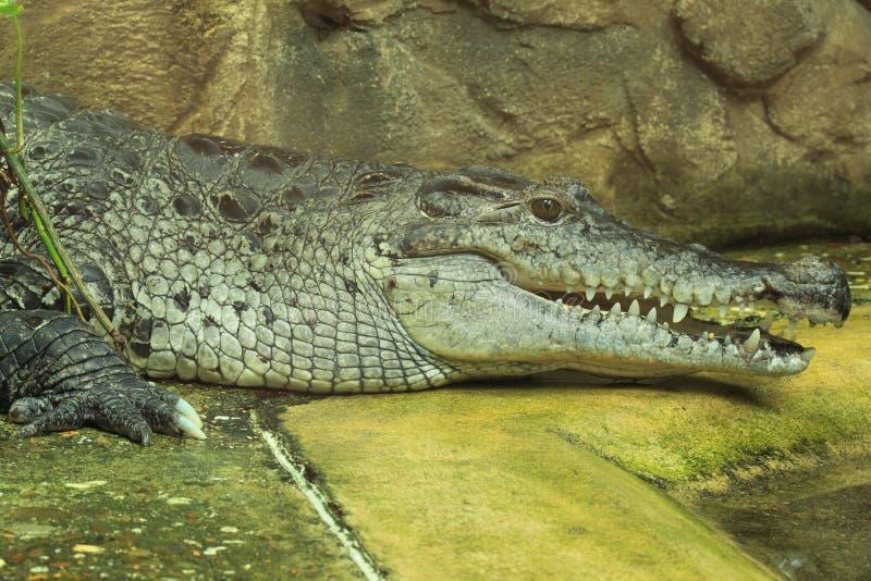 新几内亚鳄鱼 免版税库存图片