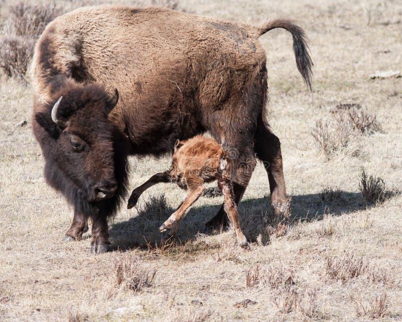 新出生小牛吃 免版税库存照片