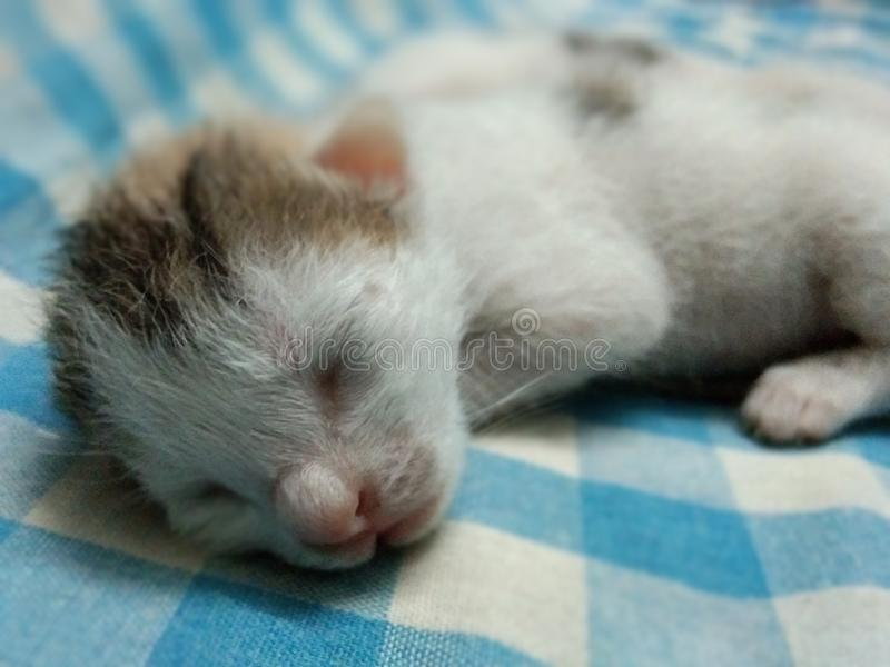 新出生小猫睡觉 免版税图库摄影