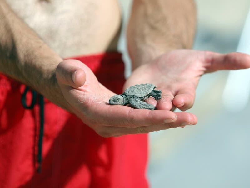 新出生的乌龟 库存图片