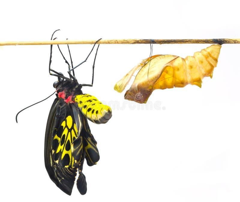 新出生的共同的Birdwing蝴蝶从茧涌现 免版税库存图片