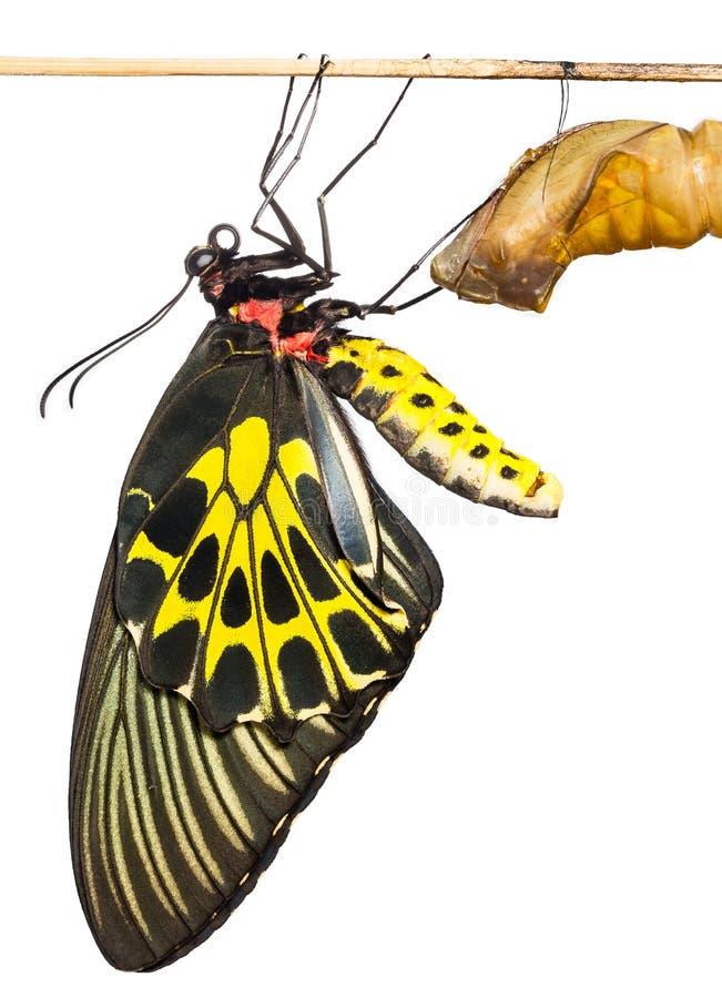 新出生的共同的Birdwing蝴蝶从茧涌现 免版税图库摄影