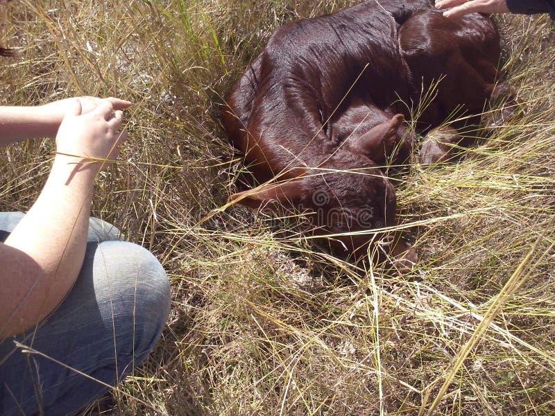 新出生的小牛- 2天年纪 库存图片