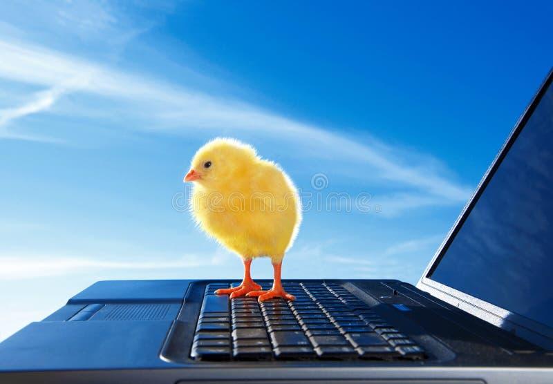 新出生的小的鸡和膝上型计算机 免版税库存照片