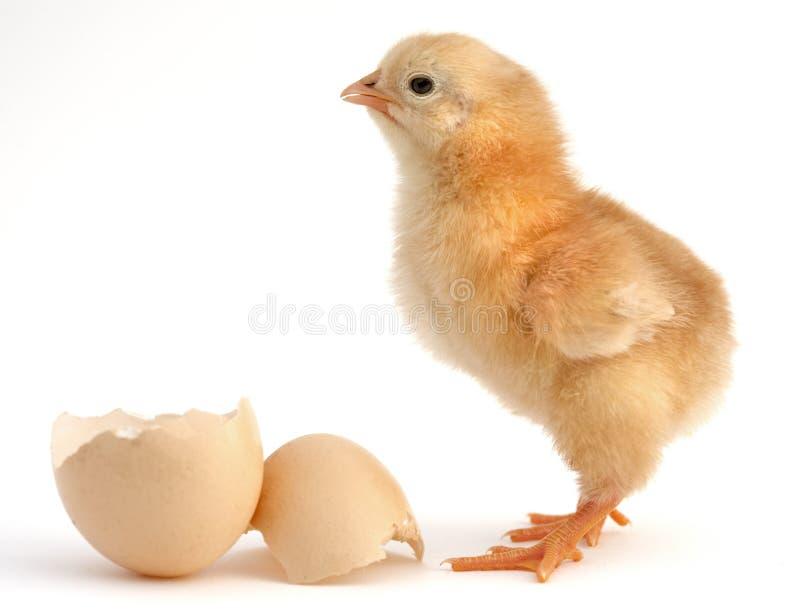 新出生的小鸡 库存照片
