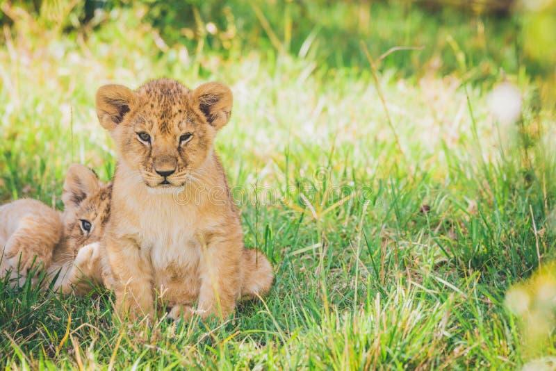 新出生的幼狮在草拥抱 免版税库存照片