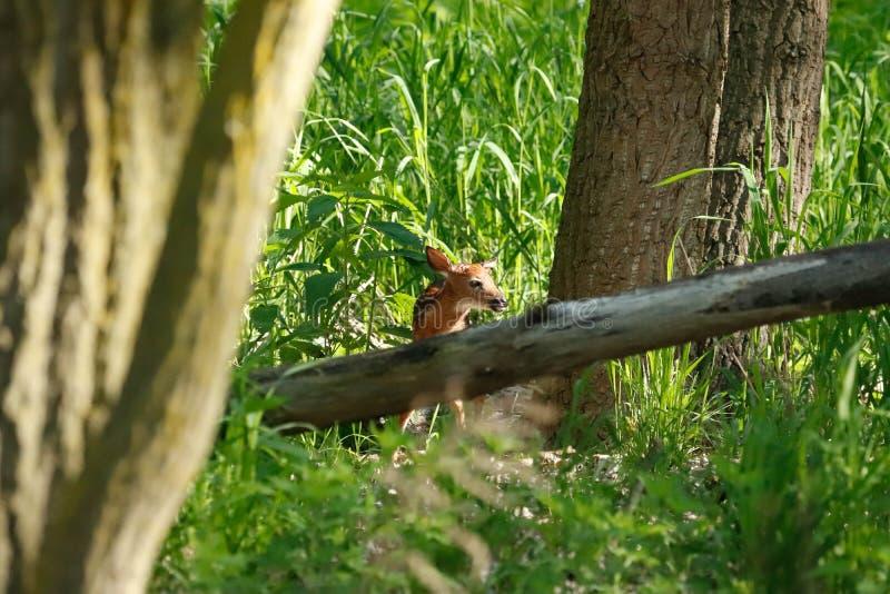 新出生的白尾鹿 免版税库存图片