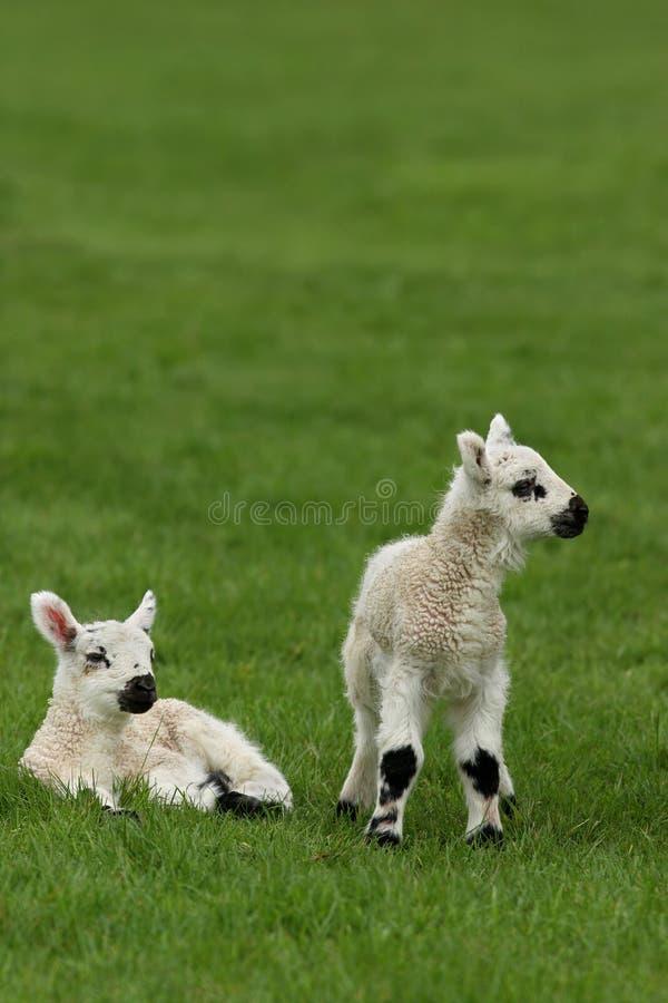 新出生的羊羔 库存图片