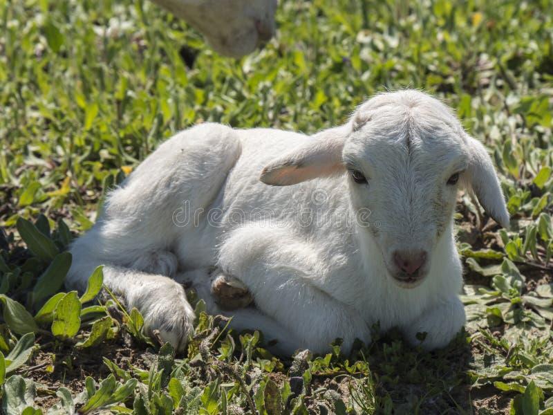 新出生的羊羔 免版税库存图片
