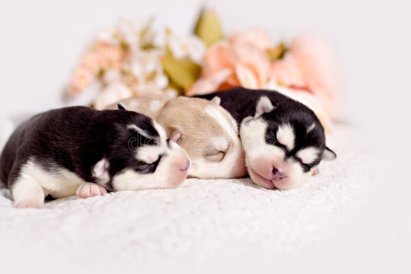 新出生的西伯利亚爱斯基摩人小狗 图库摄影