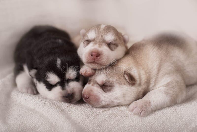 Download 新出生的西伯利亚爱斯基摩人小狗 库存图片. 图片 包括有 小狗, pedicured, 笨拙地, 投反对票 - 62538207