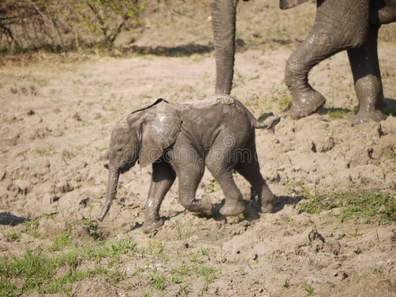 新出生的非洲灌木大象小牛 免版税库存照片