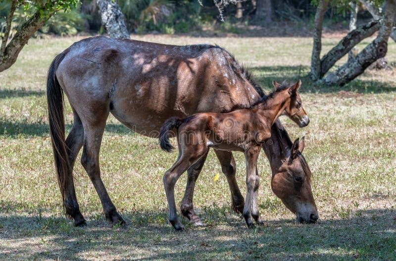 新出生的马驹和母亲 库存照片