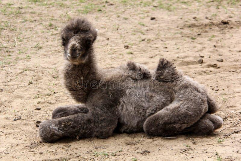 新出生的骆驼 免版税库存照片