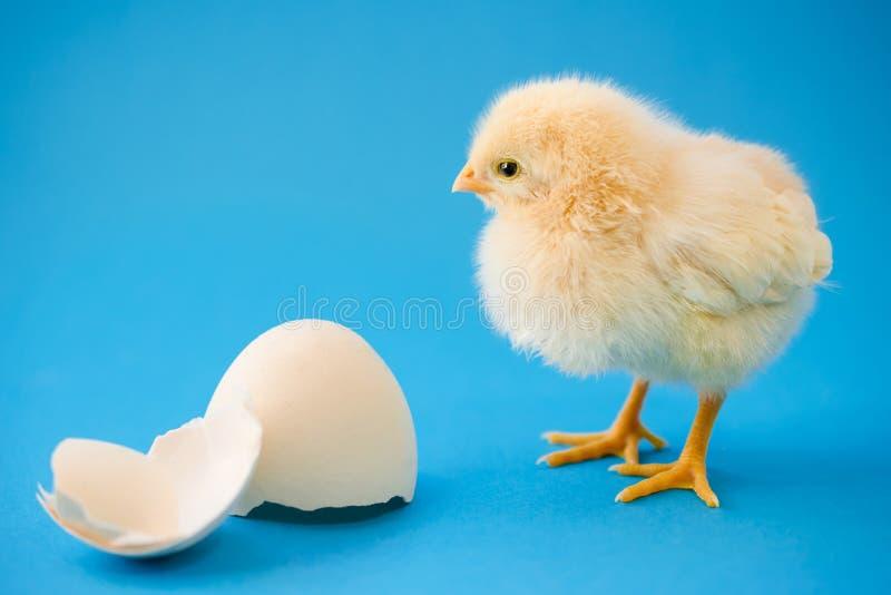 黄色录像鸡大巴_新出生的黄色鸡和残破的鸡蛋. 硼硅酸盐, 蓬松.