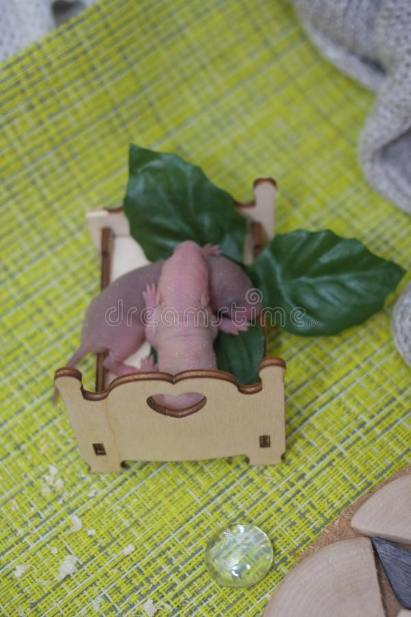 新出生的鼠当幼童军在小儿床的睡眠 老鼠孩子 免版税库存照片