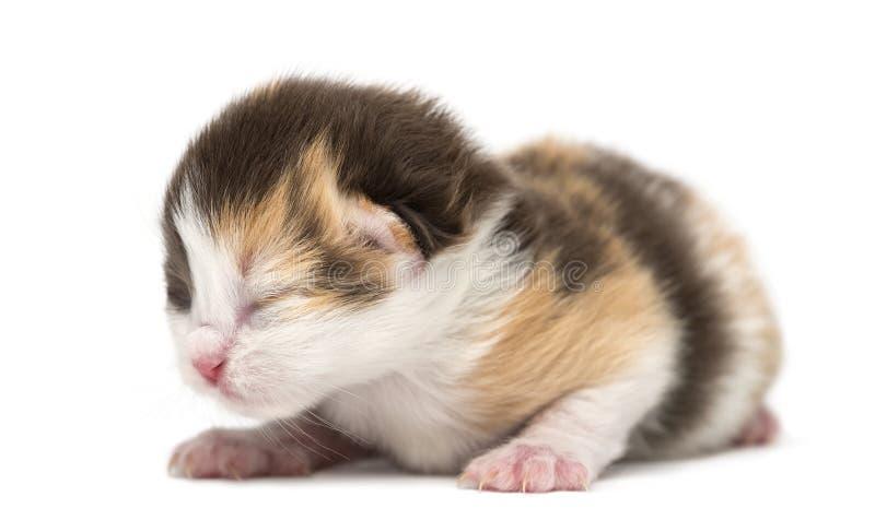 新出生高地平直或折叠说谎的小猫, 1星期 图库摄影