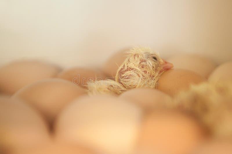 新出生婴孩的小鸡 库存照片