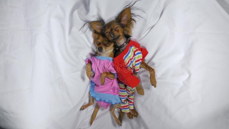 新出生puppys睡觉 在睡衣的成人小狗玩具狗 图库摄影