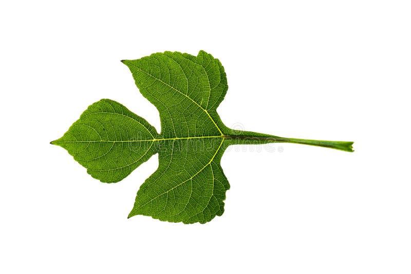 新和绿色热带和庭院树叶子纹理 绿色地方教育局 免版税库存照片