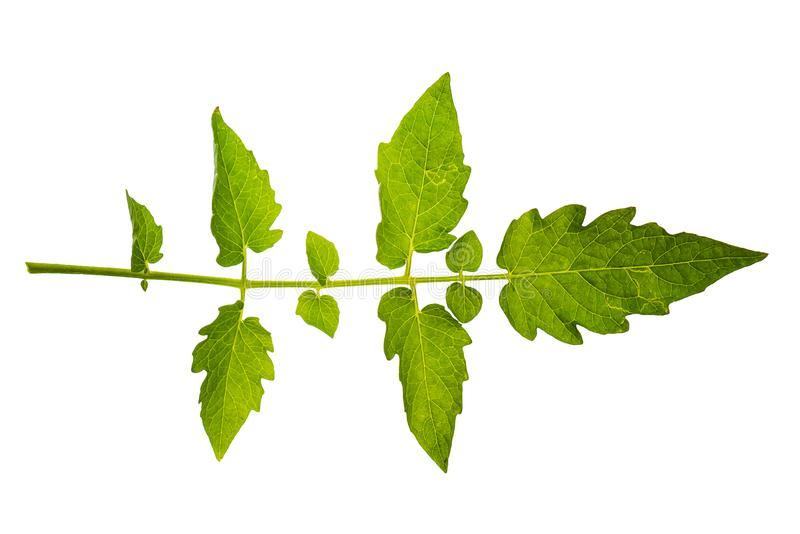 新和绿色热带和庭院树叶子纹理 免版税图库摄影