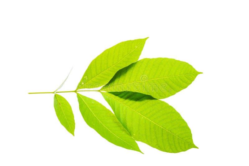 新和绿色热带和庭院树叶子纹理 免版税库存图片