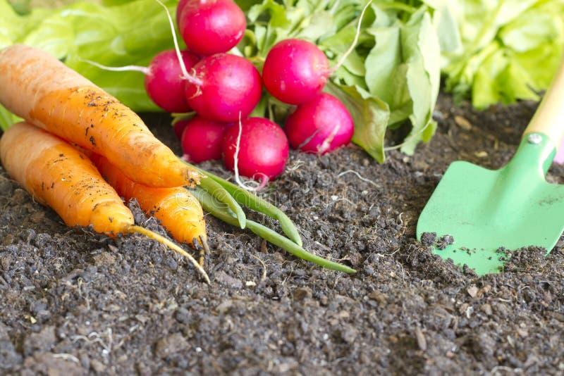 新在土壤的春天有机菜在庭院里 免版税库存照片
