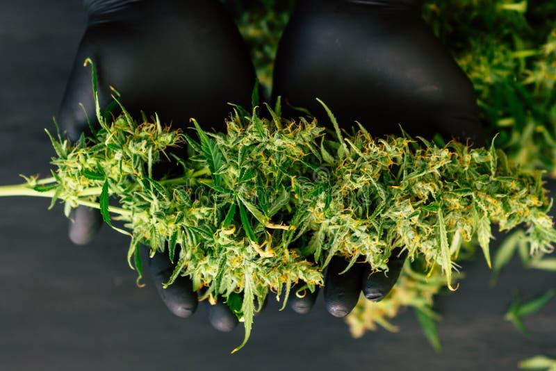 新大麻收获的大芽在耕种的人种植者概念的手上长大医疗大麻关闭 免版税库存照片