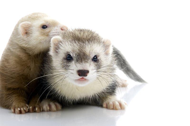 新夫妇的白鼬 免版税库存照片