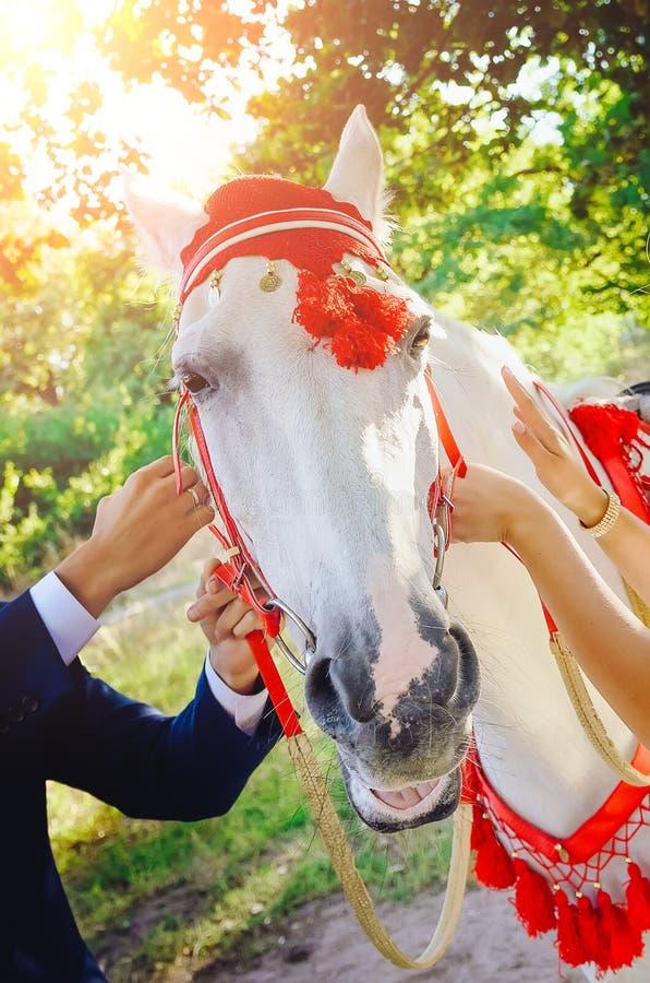 新娘和新郎的手在一个白马旁边 库存照片