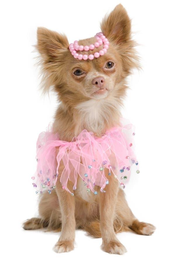 新娘奇瓦瓦狗礼服典雅的粉红色 免版税库存图片
