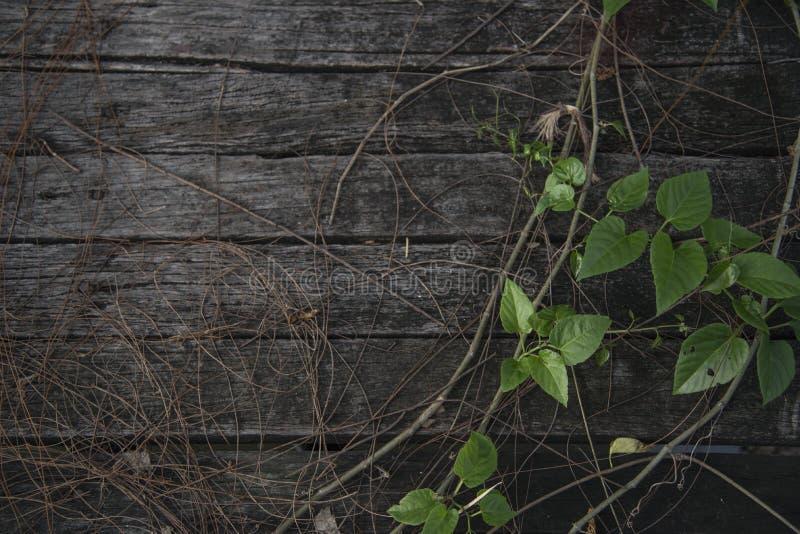 新常春藤成长在老木桥 库存照片