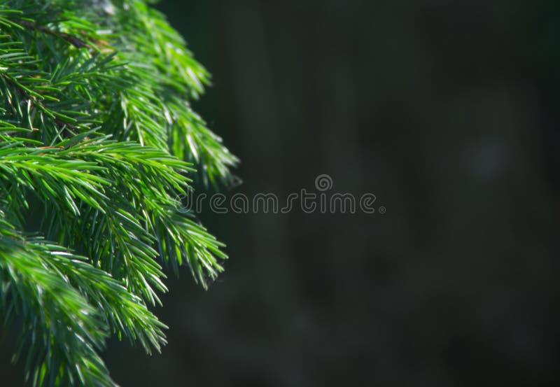 新年背景纹理云杉活分支假日圣诞节拷贝空间绿色 库存照片