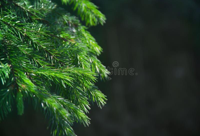 新年背景纹理云杉活分支假日圣诞节拷贝空间绿色 库存图片