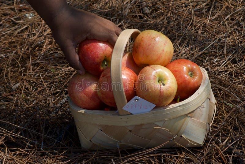新手红色采撷苹果篮子  库存图片