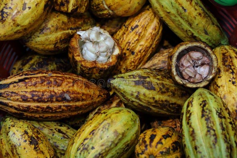 新收获在处理成熟从种植园的可可粉果子成巧克力前 图库摄影