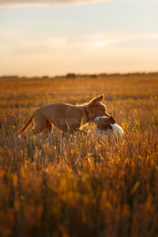 Download 新斯科舍鸭子敲的猎犬和杰克罗素比赛 库存图片. 图片 包括有 纯血统, 小狗, 本质, 无忧无虑, 快乐 - 59100847