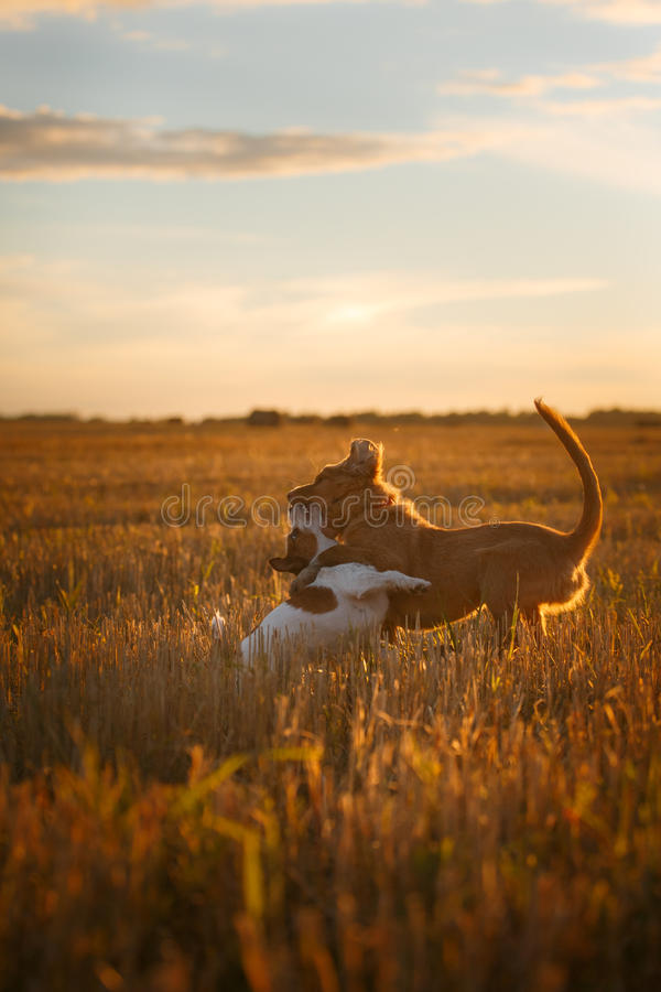 Download 新斯科舍鸭子敲的猎犬和杰克罗素比赛 库存图片. 图片 包括有 查找, browne, 朋友, 国内, 逗人喜爱 - 59100855