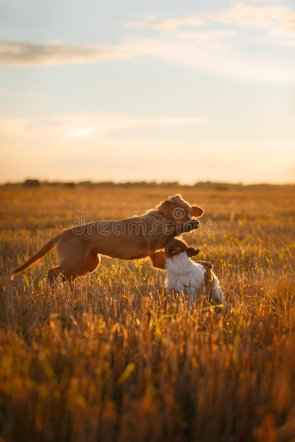Download 新斯科舍鸭子敲的猎犬和杰克罗素比赛 库存图片. 图片 包括有 室外, browne, 表面, 无忧无虑, 投反对票 - 59100937